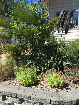Jim, a West Seattle resident, decided to remove his existing lawn and replace it with decorative grasses, succulents, a palm tree and an ornamental evergreen (above). The new vegetation requires little water and minimum maintenance, minimizing necessary upkeep as Jim ages. | Photo via Shiftpoint Strategies