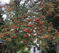 Mountain Ash trees signal the change of the season