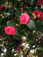 Our magnificent camellia trees