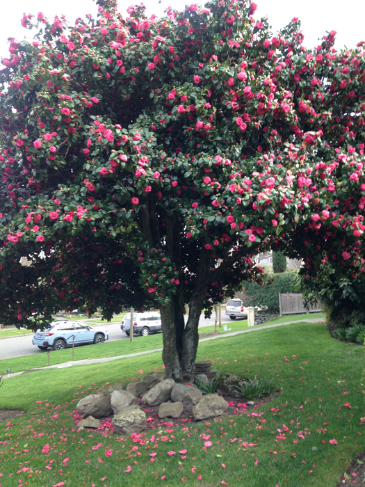 Our Magnificent Camellia Trees Madison Park Times