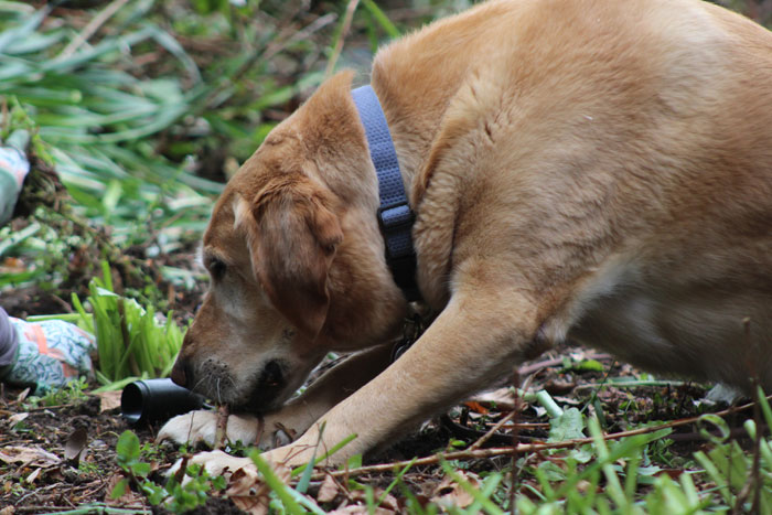 Buster works on a loose twig.